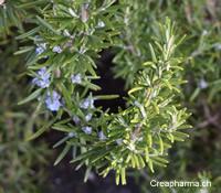 Romarin (Rosmarini officinalis) | Creapharma