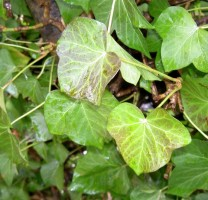 toux médicaments à base de plante
