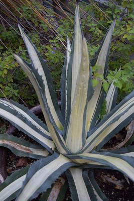 agave-Agave-americana-Medio-Picta