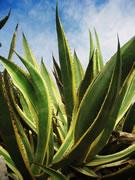 agave-Agave americana