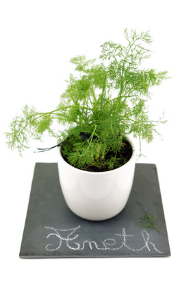 Aneth - Anethum graveolens L.