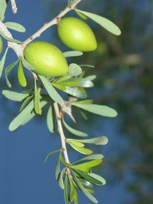 argane - Argania spinosa