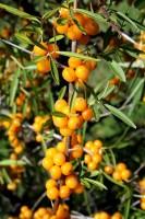 argousier - Hippophae rhamnoides