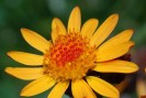 arnica soin tendinite