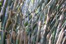 bambou plante médicinale Japon