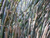 bambou - Tribu des Bambusea