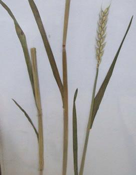 Germe de blé - Triticum sativum