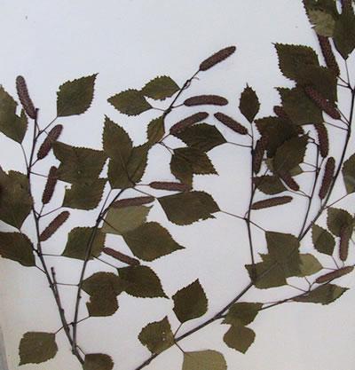 Bouleau - Betula pendula