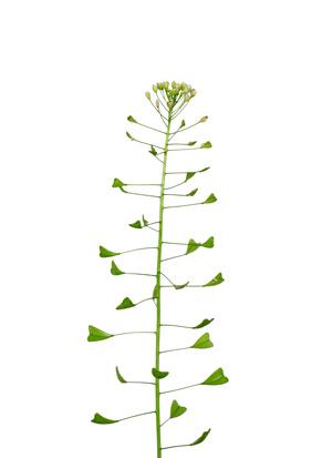Bourse-à-pasteur - Capsella bursa-pastoris