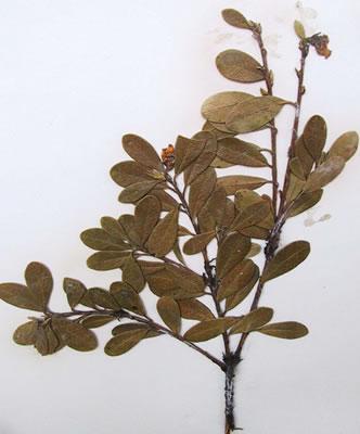 Busserole - Arctostaphylos uva-ursi