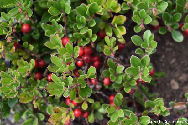 busserole-plante-leysin-creapharma