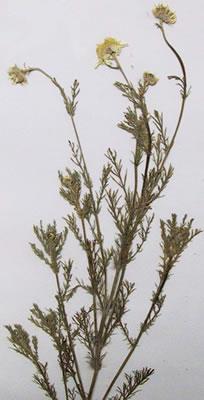 Camomille romaine - Plante médicinale