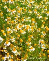 Camomille vraie - Matricaria recutita