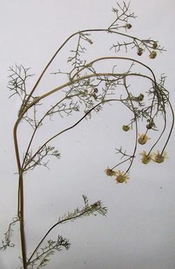 camomille vraie - Plante médicinale