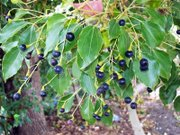 camphrier - Cinnamomum camphora