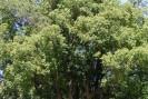 Ravintsara- Plante médicinale de Madagascar