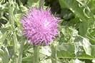 chardon-marie phytothérapie hépatite B