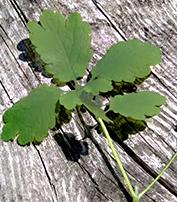 chelidoine - Plante médicinale