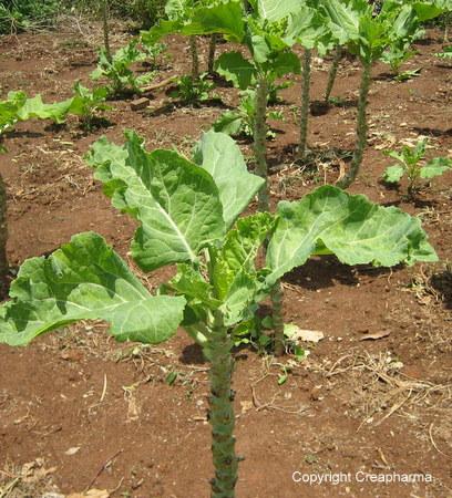 Chou - Brassica oleracea