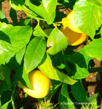 Citron citrus limon creapharma - Quand cueillir les citrons ...