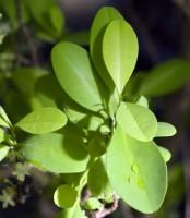 coca - Erythroxylum coca Lam.