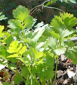 Coriandre - Plante Médicinale