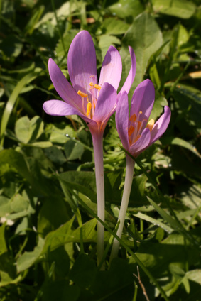 Colchique d'automne - Colchicum autumnale L.
