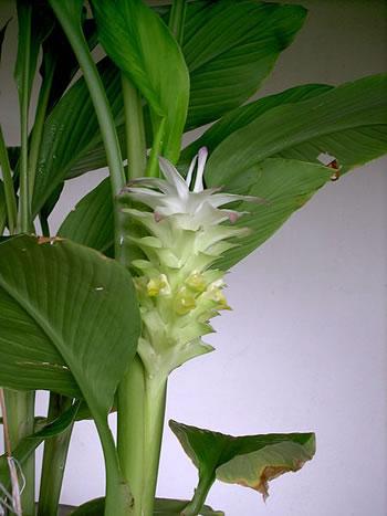 Curcuma - Plante médicinale
