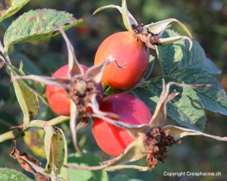 cynorrhodon-fruit-creapharma