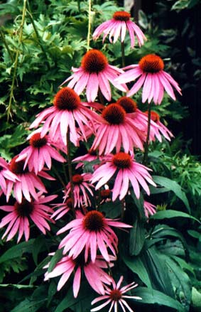 Echinacée - Echinacea purpurea DC