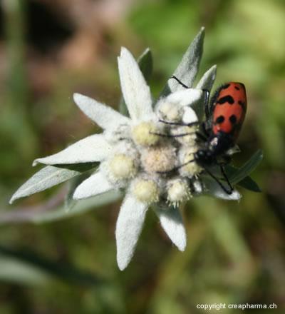 Edelweiss - Plante médicinale