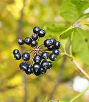 Eleuthérocoque - Plante médicinale