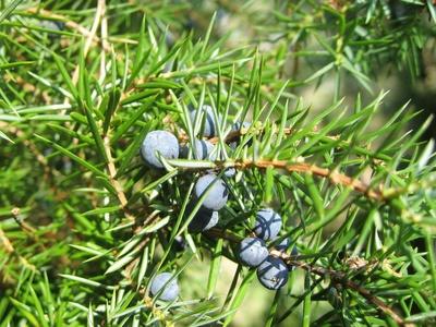 Genièvre - Juniperus communis