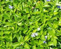 Petite pervenche - Plante médicinale