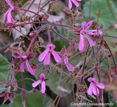 Pelargonium-reniforme