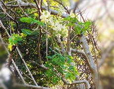 Moringa - Plante Médicinale