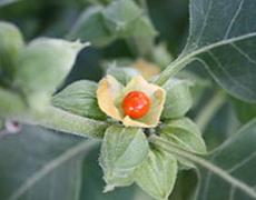 Ashwagandha - Plante médicinale