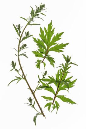 Armoise commune - Artemisia vulgaris