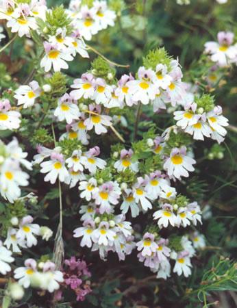 Euphraise - Euphrasia rostkoviana