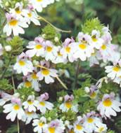 Euphraise - Plante médicinale