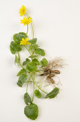 Ficaire - Ranunculus ficaria