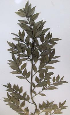 Fragon épineux - Plante médicinale