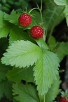 fraise - décoction de fraisier