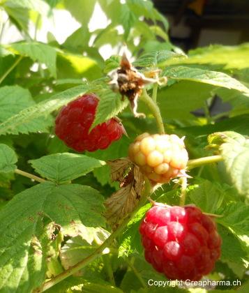 Framboisier - Rubus idaeus