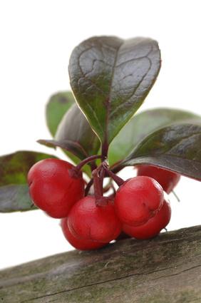 Gaulthérie - Gaultheria procumbens