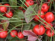 Gaulthérie - Plante médicinale