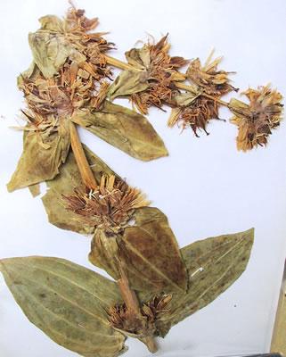 Gentiane jaune - Plante médicinale
