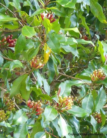 Girofle - Syzygium aromaticum