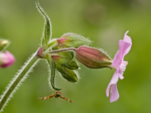Géranium Robert - Plante médicinale