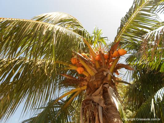 Huile de coco - Coco - Cocos nucifera